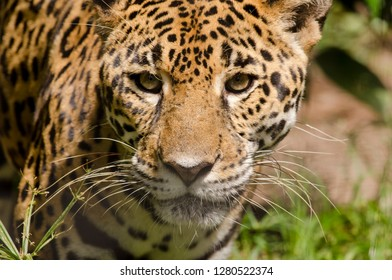 Belize, District of Belize, Belize City, Belize City Zoo. Jaguar (Captive) in jungle enclosure. Close-up of face.