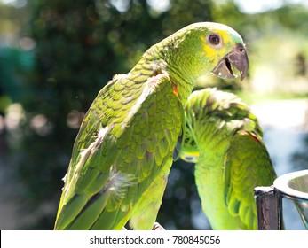 Belize yellow headed amazon, Amazona oratrix belizensis, Parakeet, Parrot.