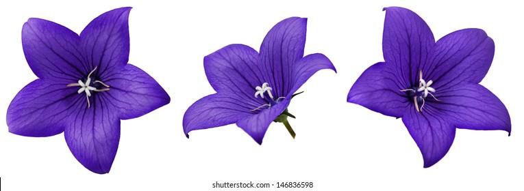 Bell flower isolated on white