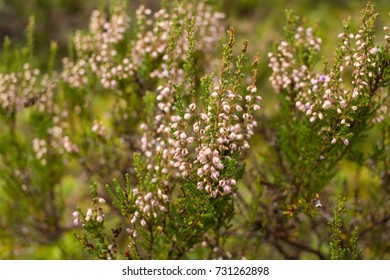 Bell heather in the forest