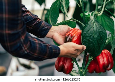 Bell pepper plants inside a greenhouse farmer harvesting agricultural produce for sale to traders fresh food market bell pepper color differs from yellow orange red green