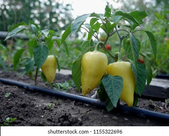 Bell peppers growing on bell pepper plants in a vegetable garden, with drip irrigation system installed along the rows of plants.