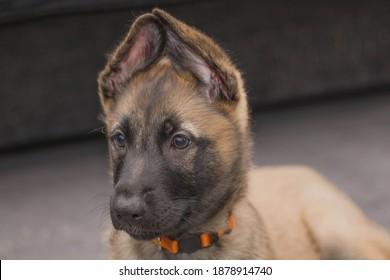 Bella the Belgian x gsd puppy