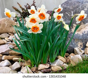 Bella vista narcissus daffodils in a rock garden in late winter or early spring