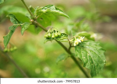 Belladona or Deadly Nightshade or Atropa belladonna, growing wild in a garden.