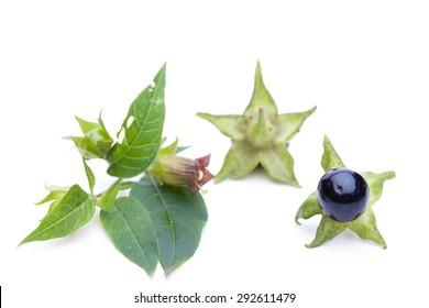 Belladonna (Belladonna) - blossom and berries