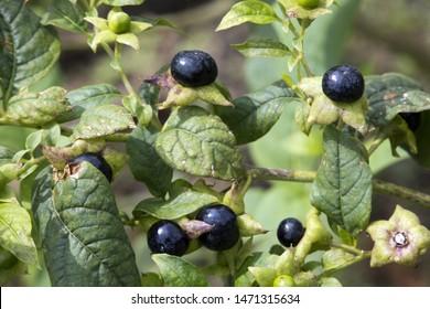 belladonna or deadly nightshade (Atropa belladonna)