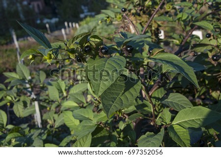 Belladonna Deathly Nightshade Stock Photo (Edit Now) 697352056 ... d8492f2f3f9