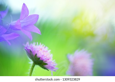 Bellflowers (Campanula patula) and Field Scabious (Knautia arvensis) in the meadow. Selective focus and shallow depth of field.
