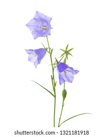 Bellflowers isolated on white background.