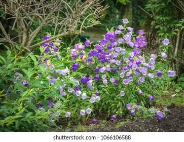 Bellflowers on the summer garden