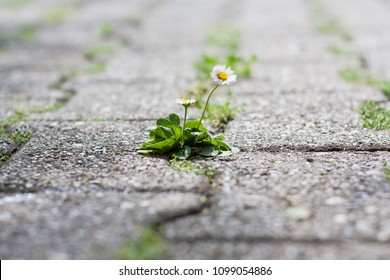 Bellis perennis is a common European species of daisy, of the Asteraceae family, sometimes called common daisy, lawn daisy or English daisy. A lone flower growing through a crack in concrete.