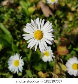 Bellis perennis daisy, Milan, Italy