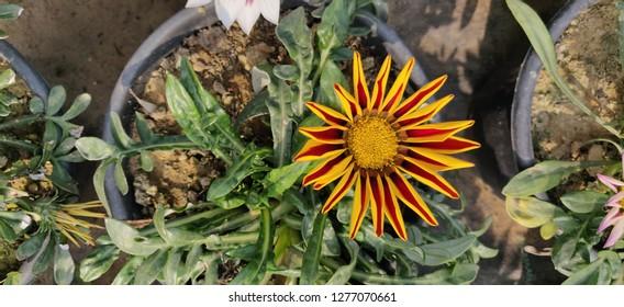 Bellis perennis (English daisy, common daisy, lawn daisy) flowers grow in winter season.