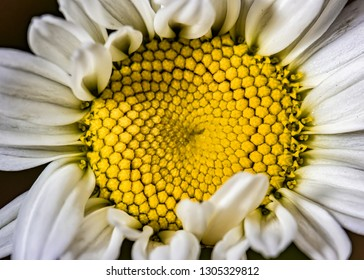 Bellis perennis flower close up photo, Daisy flower