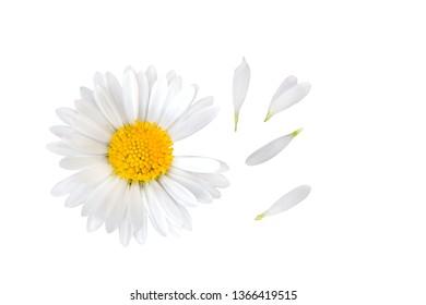 Bellis perennis flower with separate petals