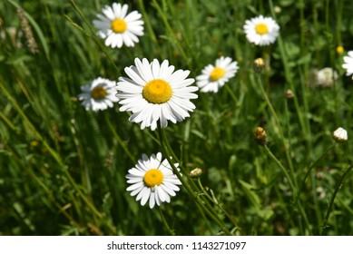 Bellis perennis  flowering