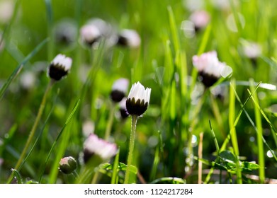 Bellis perennis flowers in bloom, lawn full of daisies, wild beautiful small flowering plant with white and pink petals on green background