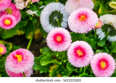 Bellis perennis pomponnete in macro closeup, colorful flowers in closeup, Cultivated hybrid specie of the english daisy flower, ornamental garden plants