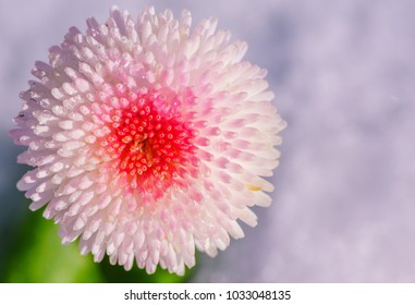 Bellis Perennis Tasso Strawberries and Cream. a cute double button flower in a stunning blend of soft creamy pink with a deep pink center. The flowers bloom in pink and then fade to white