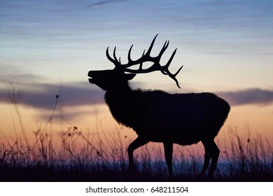 Bellowing elk dawn