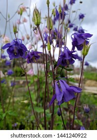 bells Aquilegia blue bloomed in the afternoon in the garden