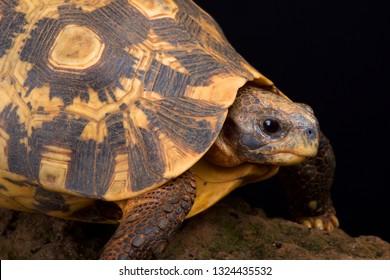 Bell's Hinged tortoise (Kinixys belliana)