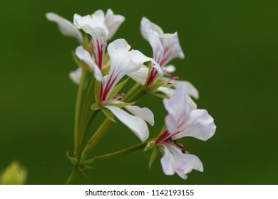 Bell shaped pink flowers images stock photos vectors shutterstock bell shaped white and pink flower on a green blurred background mightylinksfo