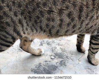 Cat's belly fat, tiger pattern cat bottom, standing on concrete stone floor