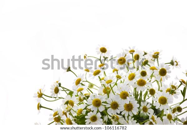 belonging to daisy family matricaria