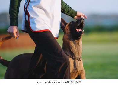 Beloved dog breed Belgian shepherd dog in competitions. Malinois goes around a man and looks in the eyes