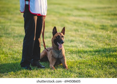 Beloved dog-breed Belgian shepherd dog is lying next to a man at his feet. Training with raspberry on a blurred background on the field