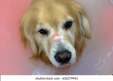 Beloved golden retriever dog was kissed by a lady.