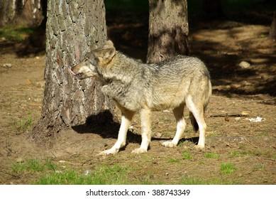 BELOVEZHSKAYA PUSHCHA, BELARUS - MAY, 2013: Wild wolf in a cage of the Bialowieza Forest