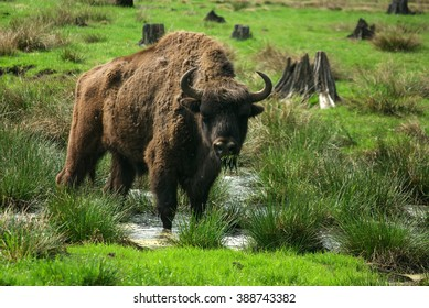 BELOVEZHSKAYA PUSHCHA, BELARUS - MAY, 2013: European Bison (Bison bonasus), standing on grass covered meadow