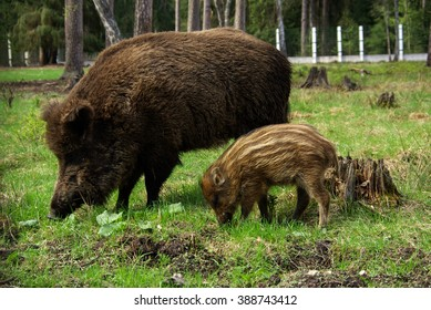 BELOVEZHSKAYA PUSHCHA, BELARUS - MAY, 2013: The wild boar in the aviary of the Bialowieza Forest