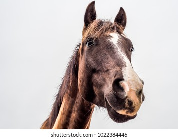 from below portrait of a brown horse on a white background