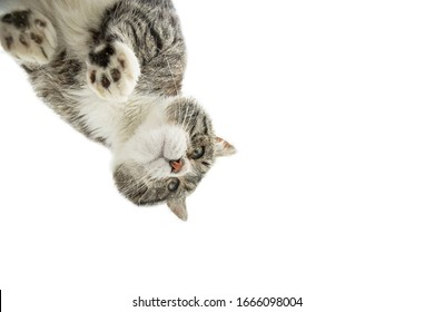 From below through glass of fluffy cat standing on glass table of glazed balcony and looking around
