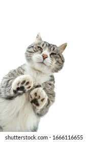 From below through glass of fluffy cat standing on glass table isolated on white background