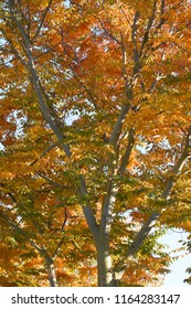 From below view of quaking asp with yellow, orange, red leaves in sunny day