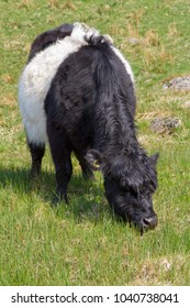 Belted Galloway cow grazing on grass.