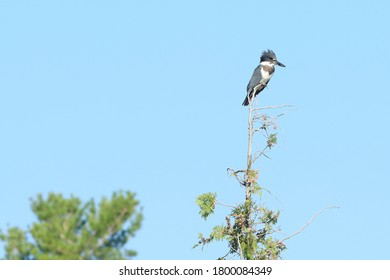 Belted kingfisher perched on top of a cedar tree against blue sky.