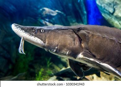 The beluga or European sturgeon (Huso huso)