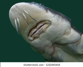 The beluga or European sturgeon (Huso huso) is a species of anadromous fish in the sturgeon family (Acipenseridae) of order Acipenseriformes. It is found primarily in the Caspian and Black Sea