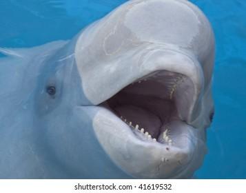 beluga whale Marineland, Ontario