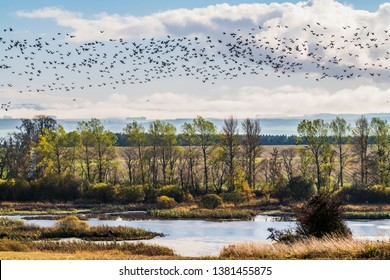 Bemersyde, Melrose, Scottish Borders, UK. 29th October 2018. Pink Footed Geese flying above Bemersyde Moss Wildlife Reserve in the Scottish Borders.