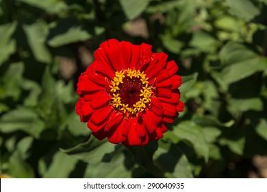 Benarys Moulin rouge red zinnia flower, Zinnia elegans, blooms in a garden in spring