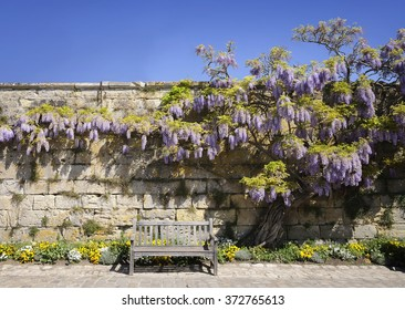 The bench near the stone wall with flowering tree of Wisteria in the spring.