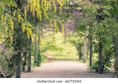 Bench under a pergola with yellow and purple wisteria.