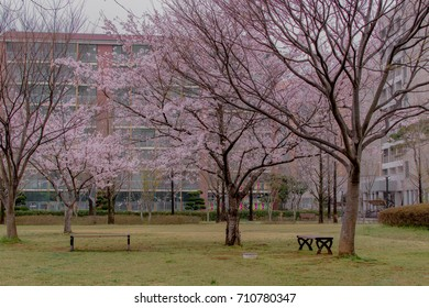 Benches under cherry (sakura) blossom trees in the garden
